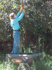 Picking plums in August, using our erstwhile Ursa cart as a ladder. The Ursa field cart has been a winner for us!