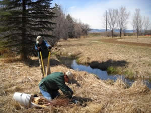 Planting native plums at Poudre River Stables, Fort Collins, Colorado.