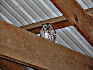 A western screech owl perches in our horse barn. (Photo by Gregg Doster)