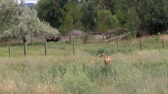A deer grazes in our east pasture along the Poudre River bike trail - Poudre River Stables - Fort Collins - Colorado - 80521.