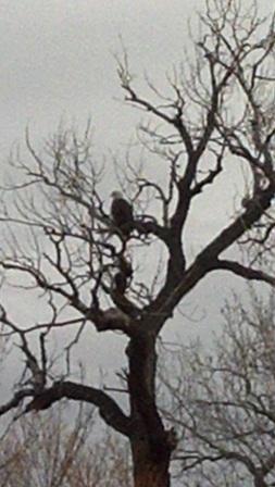 Bald eagle closer view - Poudre River Stables - Fort Collins - Colorado - 80521