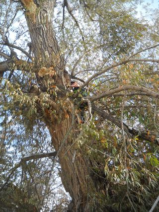 The surviving twin willow took a hit in the October blizzard of 2011, and Gregg had to climb its heights to trim off broken branches.