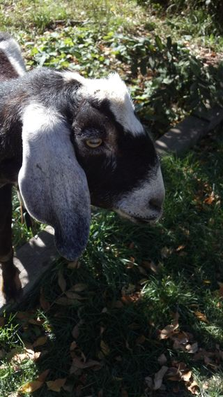 Jack the Goat, October 7, 2012, on weed control - Poudre River Stables - Fort Collins - Colorado - 80521