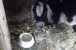 Jack the Goat eats dried willow. A dog dish holds water, and goat pellets sit in the disposable plastic container.