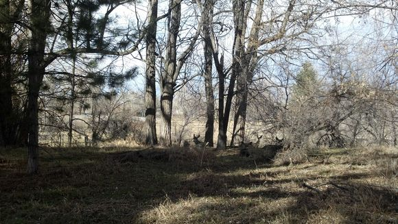 Deer bed down near our pond - Poudre River Stables - Fort Collins - Colorado - 80521