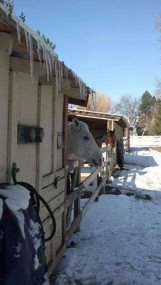 Horses waiting for turnout and breakfast - Poudre River Stables - Fort Collins - Colorado - 80521