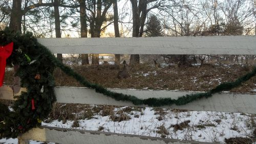 Deer add themselves to our Christmas decorations - Poudre River Stables - Fort Collins - Colorado - 80521