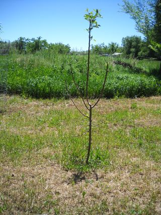 Apple tree no cage -- damaged by deer.