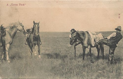 Historic horses - A Loose Pack - Photo by Chas. E. Morris - postcard - Chinook - Montanta - 1909
