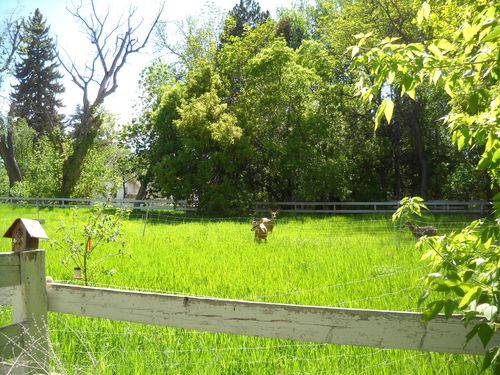 Deer guard for trees - portable solar-powered electric goat fence protects young apple trees from dee.