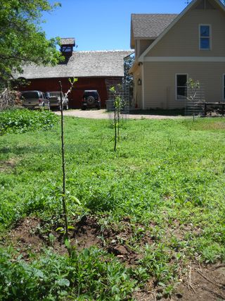 Apple trees cage v no cage -- damage by deer compared.