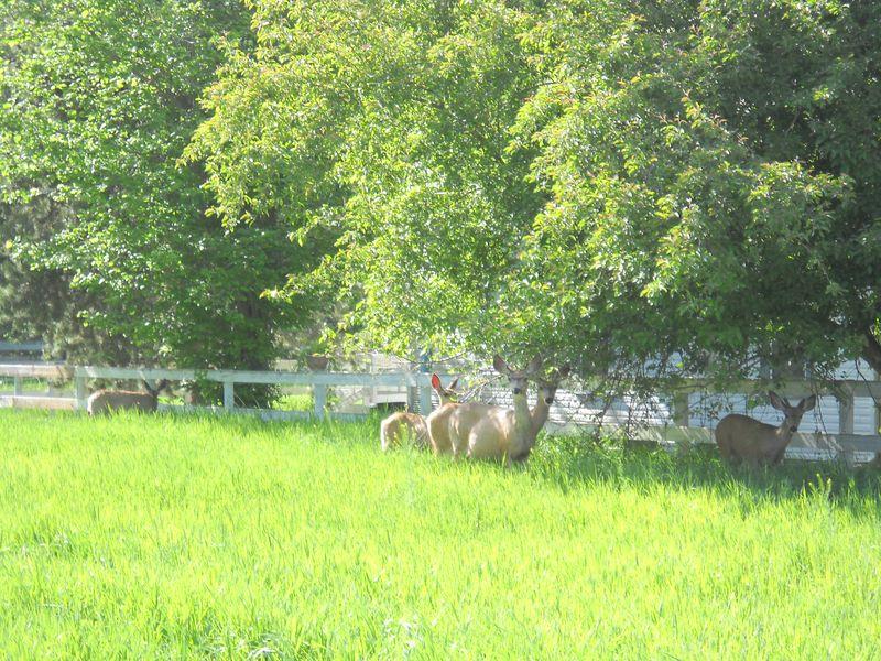 Apple tree eating deer lurk