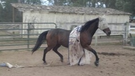 Bonnie trots around with her fly sheet in shreds - Poudre River Stables - Fort Collins - Colorado - 80521