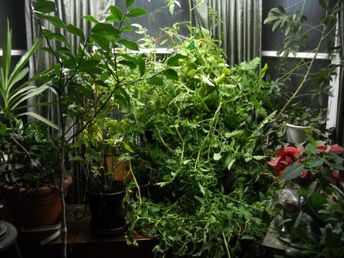 Tomato plant started from seed and fertilized with the soiled bedding in our manure pile - a mix of wood shavings and manure.