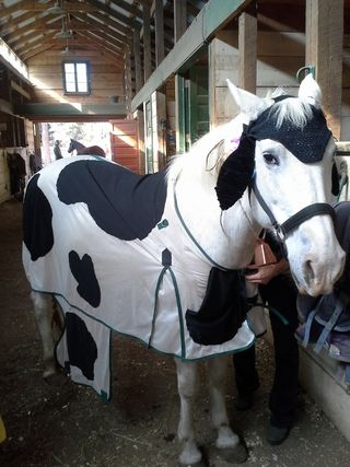 Cow - Halloween - Poudre River Stables - Fort Collins - Colorado - 80521