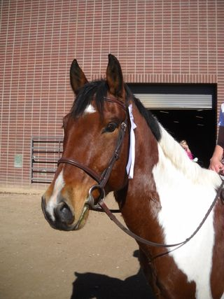 CSU fall schooling show - Cooper - Poudre River Stables - Fort Collins - Colorado - 80521