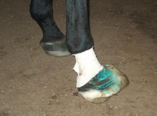 The IV bag is cut off at the top, filled, and bandaged around the horse's fetlock. (Click photo to enlarge.)