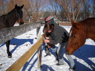 Billy Blue, co-equine-star of the book, Winning Bet, helps with fence repairs after his earlier disaster. (Click photo to enlarge.)