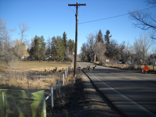 Herd of deer crosses North Shields Street, which is slated for major changes in 2015 - - access point - West Vine Outfall Project - Fort Collins - Colorado - 80521