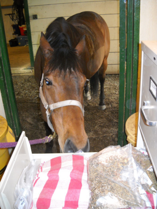 Dani the Horse checks out her new grain storage solution - file cabinets and baggies - at Poudre River Stables - Fort Collins - Colorado - 80521
