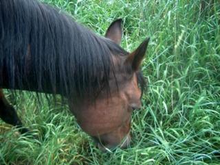 Bonnie, the start of the tween-teen horse novel, Winning Bet, enjoys a moment of grazing on the good stuff.