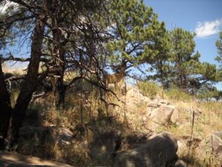 Bobcat Ridge, Fort Collins, Colorado, deer encounter Number 2 - MyHoofprints