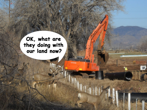 Deer watch the West Vine Outfall Project - North Shields Street - Fort Collins - Colorado - 80521