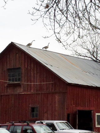 Geese on the barn rooftop - Poudre River Stables - Fort Collins - Colorado - 80521