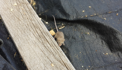 Shavings mouse - Poudre River Stablesl - Fort Collins - Colorado - 80521