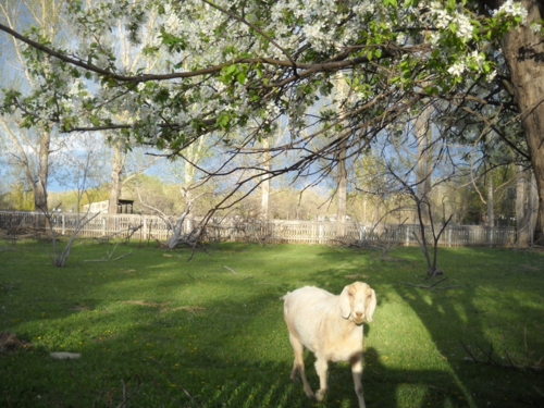 Legolas the Goat among the crabapple blossoms - Poudre River Stables - Fort Collins - CO - 80521