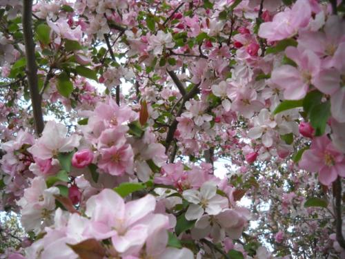 Crabapple blossoms - Poudre River Stables - Fort Collins - Colorado - 80521