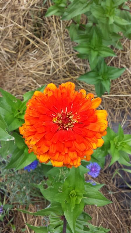 Benarys Giant Zinnia - orange