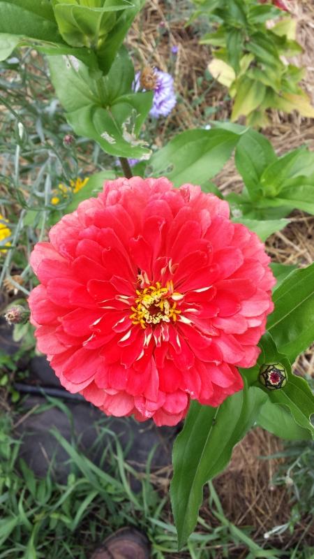 Benarys Giant Zinnia - red