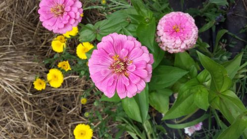 Benarys Giant Zinnia - pink