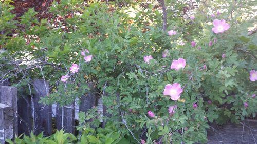 Farm roses