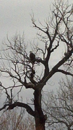 Bald eagle visits in the cottonwood north of the turnouts