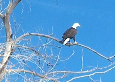 Bald eagle perches