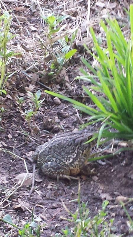 Barn toad
