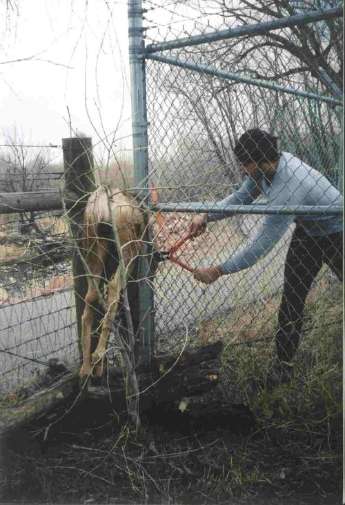 Cutting deer out of fence