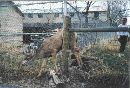 Deer caught in fence Poudre River Stables