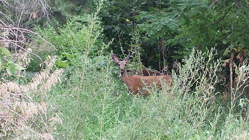 Deer collecting fruit