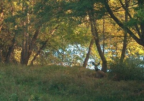 Deer resting next to the pond