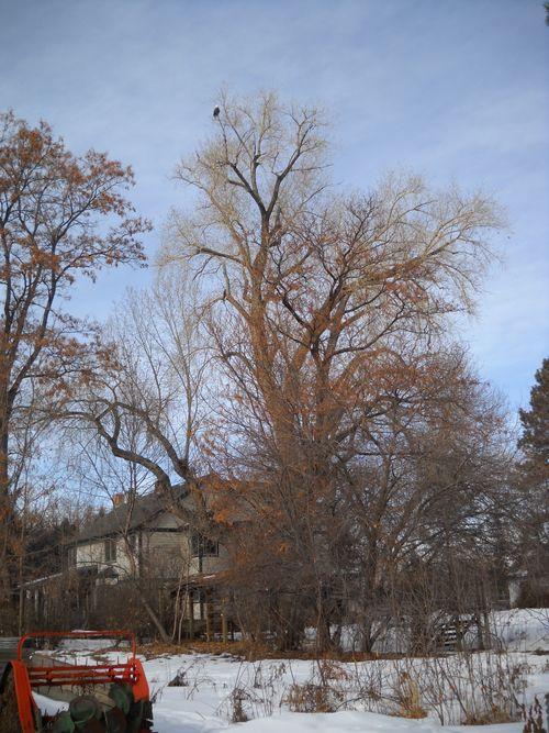 Eagle in the kitchen cottonwood