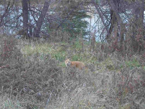 Fox in the field by the pond