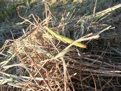 Haying praying mantis