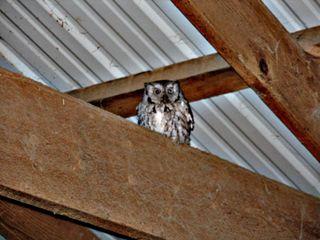 Owl in the barn