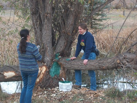 Painting trees to prevent more beaver damage