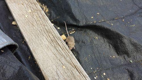 Shavings mouse