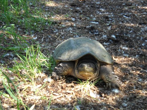 Snapping turtle on the move